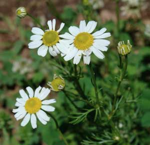 German chamomile, photo by Sue