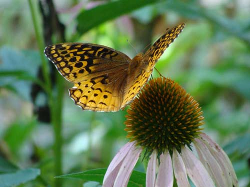 echinacea and fritillary butterfly