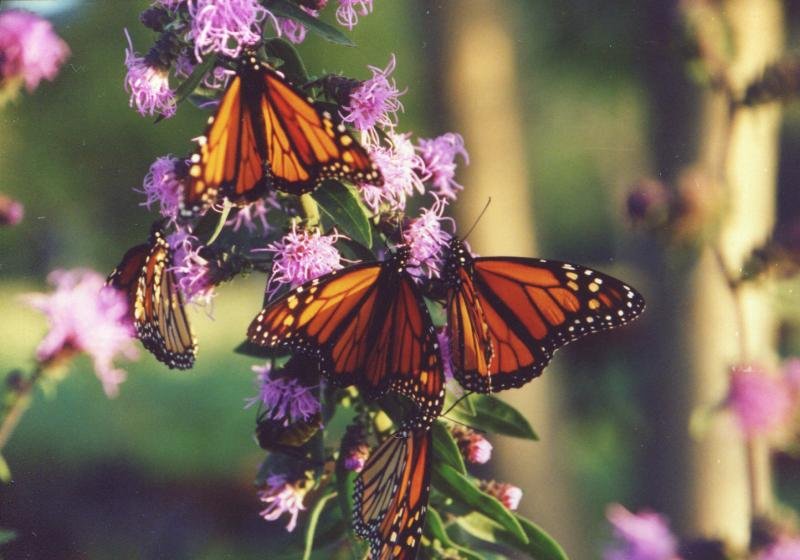 monarchs on Liatris aspera during fall migration